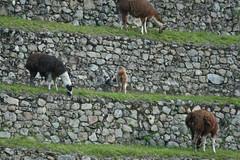 Peru-8551.jpg (Matt and Debbie) Tags: peru llama 2015 wayna winaywayna wiay
