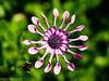 Rotor (David S Wilson) Tags: uk flowers england flower ely fens flowersplants 2015 davidswilson leicadgmacroelmarit12845asphlens lumixdmcgm5 adobelightroom6
