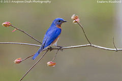 Eastern Bluebird - Male!! (Anupam Dash Photography) Tags: camera wild canada color male bird nature water colors beauty birds female clouds canon adult wildlife north birding northamerica birdwatching avian anupam warbler redbud wildlifephotographer easternbluebird songbirds naturephotography northamericanbirds naturesfinest colourartaward naturecanada canon500mmf4 canon1dmarkiv birdsofontario anupamdash anupamdashphotography