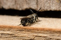 Heriades truncorum (m) ? (mickmassie) Tags: hymenoptera insecta megachilidae apoideabeeswasps gardentq209783