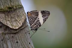 Dirce Beauty (Truus & Zoo) Tags: netherlands animals butterfly zoo rotterdam blijdorp nederland vlinder dierentuin coloburadirce zebramosaic dircebeauty