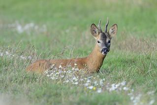 Roe Buck (Capreolus capreolus)