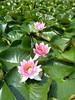 Nymphaea (★ Percy Germany™ ᵀᴴᴱ ᴼᴿᴵᴳᴵᴻ) Tags: waterlily lotus pflanze blüte nymphaea seerose seerosen nymphaeaceae lotos lotusblume lotosblume percygermany seerosenanderbadeballstelle anderbadeballstelle 2272015