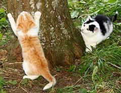 do not be afraid just do as me (Ingrid Friis Photo) Tags: playing tree kittens kattungar trd leker klttrar