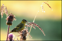 Gulsparv (Jonas Thomén) Tags: bird grass thistle emberizacitrinella yellowhammer fågel gräs tistel gulsparv