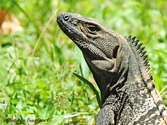 Black spiny-tailed iguana (Natacha Francisca G.) Tags: black wildlife iguana caribbean reptilia garrobo ctenosaura similis