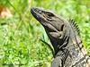 Black spiny-tailed iguana (Natacha Francisca G.) Tags: black wildlife iguana caribbean reptilia garrobo ctenosaura similis