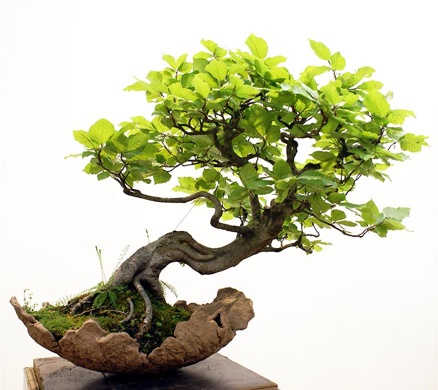 The world 39 s newest photos of ahorn and bonsai flickr - Bonsai zimmerpflanze ...