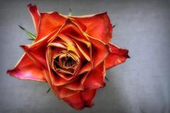 091216 (roberke) Tags: roos rose closeup dichtbij bloem flower fleur flor nature natuur indoor rood red verwelkt blaadjes petals