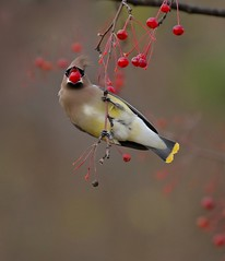 Show-off (Slow Turning) Tags: bombycillacedrorum cedarwaxwing bird headon perched feeding foraging forage food fruit crabapples autumn bokeh december2016 southernontario wind breeze