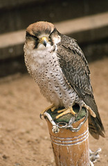 Lanner falcon (SteveInLeighton's Photos) Tags: transparency england gloucestershire agfachrome 1981 may newent falconry falcon lanner