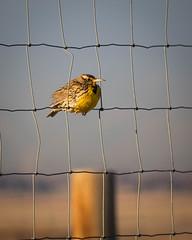 Through the wire (droy0521) Tags: colorado outdoors birds wildlife winter places rockymountainarsenal