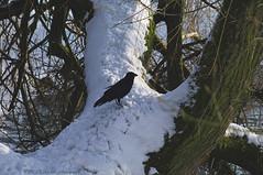 Winter (Natali Antonovich) Tags: winter tervuren belgium belgique belgie nature christmasholidays christmas bird raven snow frost