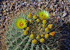 Ferocactus emoryi (l.e.violett) Tags: cactus flowers cultivated ferocactus emoryi arizona pse