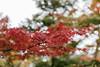 I love Autumn... (Kompakin Borwornpakramil) Tags: canon 1dx markii ef2470mmf28liiusm red nature autumn kamakurashi kanagawaken japan jp bokeh