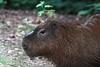 Capybara (RPahre) Tags: rodent capybara lent zoo stlouiszoo stlouis