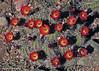 Echinocereus triglochidiatus (l.e.violett) Tags: cactus flowering cultivated echinocereus triglochidiatus