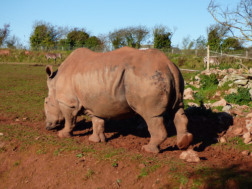 South Lakes Zoo - rhino