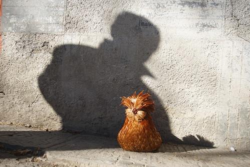 Chickens of Shkodra