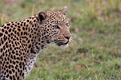 Portrait of a Leopard (Thomas Retterath) Tags: 2016 africa afrika allrightsreserved animals bigfive botswana carnivore copyrightthomasretterath felidae kwara leopard mammals natur nature okavangodelta pantherapardus predator raubtiere säugetier thomasretterath tiere wildlife