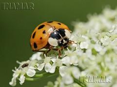 vaquita de san antonio Coccinelle (Inamar 1) Tags: naranja polen flor suerte fortuna macro