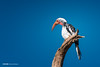 Remembrance (anderswotzke) Tags: redbilledhornbill hornbill bird birds zimbabwe hwange african animal nature bluesky deadtree a7rii africa dubai sony