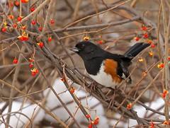 Eye to the Sky (Slow Turning) Tags: pipiloerythrophthalmus easterntowhee bird perched vine asianbittersweet celastrusorbiculatus berries fruit snow winter december2016 southernontario