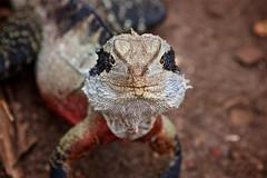 In yer face! (radio4) Tags: easternwaterdragon intellagamalesueurii lizard tarongazoo sydney nsw australia