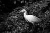 Heron a la Hurrell - Queens, NYC (MB DeGeorge) Tags: animal white heron george hurrell vintage hollywood style bird queens zoo new york city canon 6d ef70200l