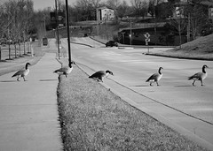 Follow the Leader (michaelelrod) Tags: umsl stl stlouis geese walk morning photography dslr canonphotography travel travelphotography missouri followtheleader leader follow cute animals animal duck birds bird street outdoors blackandwhite monochrome bw nature