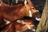 Bongo (K.Verhulst) Tags: bongo antilope blijdorp diergaardeblijdorp blijdorpzoo rotterdam