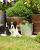 Caddy (Jake Richardson Photography) Tags: border collie dog dogs grass nature flower cute sweet pretty nikon d610 tamron woodend