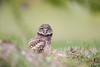 Owlet (Megan Lorenz) Tags: burrowingowl owl owlet bird avian birdofprey nature wild wildlife wildanimals travel florida mlorenz meganlorenz