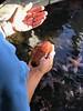 The Blob (shinnygogo) Tags: sea creature manhattanbeach california sealife seacucumber