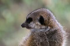 Stokstaartje - Meerkat (Den Batter) Tags: nikon d7200 burgerszoo stokstaartje meerkat suricatasuricatta