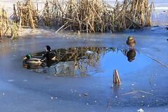Icy Times (ivlys) Tags: darmstadt prinzemilsgarten teich pond eis ice enten ducks sonne sun wasser water spiegelung reflection nature ivlys
