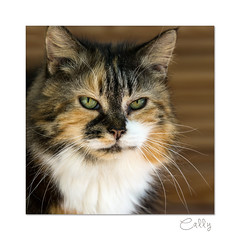 Cally (hehaden) Tags: cat kitty tortoiseshell semilonghair portrait head face senior square sonyphotographing