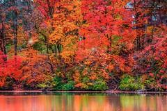 The Fall He Nearly Died (Thomas Hawk) Tags: unitedstates trees fall stlouis usa grantsfarm autumn missouri unitedstatesofamerica lake tree