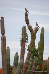 "Birds of Prey on Cacti (Aruba) (runintherain) Tags: runintherain canon450dxsi canon canonxsi caribbean lesserantilles flora trees nature outdoor wild animals birds aruba ""netherlands"" abcislands dutchcaribbean"