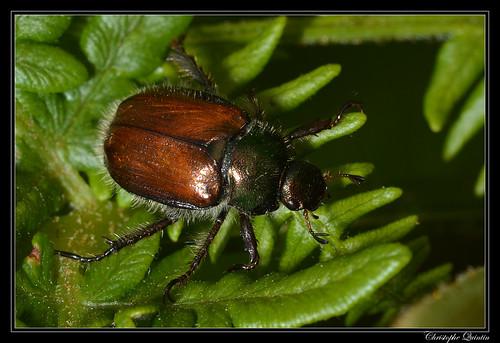 Hanneton des jardins (Phyllopertha horticola)