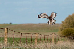Spotted Harrier (chrissteeles) Tags: bird birding hunting raptor sa southaustralia avon birdofprey harrier spottedharrier