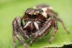 Eris Militaris? (Doundounba) Tags: macro nature animal spider montral pentax qubec jumpingspider araigne arthropod k3 salticidae salticide erismilitaris parcnaturedelledelavisitation erissp