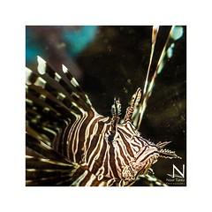 (nour.tanta) Tags: fish closeup redsea details jordan aqaba الأردن البحرالأحمر سمكة العقبة
