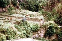 26-222 (ndpa / s. lundeen, archivist) Tags: people bali color film animals rural 35mm indonesia women cattle cows 26 nick hill trail southpacific baskets balance local 1970s hillside 1972 balancing indonesian carry grazing carrying balinese dewolf oceania pacificislands banteng nickdewolf photographbynickdewolf ontheirheads reel26