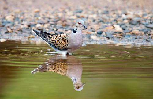 Rola Brava | Streptopelia turtur | European turtle Dove