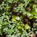dao-56495 Heliotropium formosanum
