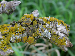close up oak branch with moss and lichens (quirkyjazz) Tags: oaktree lonetree oldoak thattree plattevillewisconsin
