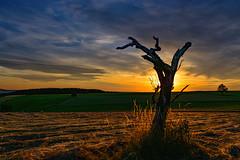 Cycle of Life....... (kanaristm) Tags: copyright2015tmkanaris copyright2015kanaristm kanaris kanarist kanaristm tkanaris tmkanaris tmk nikon d800e nikond800e cycleoflife grain grass fields tree deadwood heavenandearth nikno tmksnikond800ephotography 36megapixels pixel mega 36 tomsphotography
