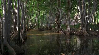 Swamp trees - very unique!