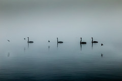 Lake Karapiro (Aaron LXXXV) Tags: fog swan blackswan lakekarapiro